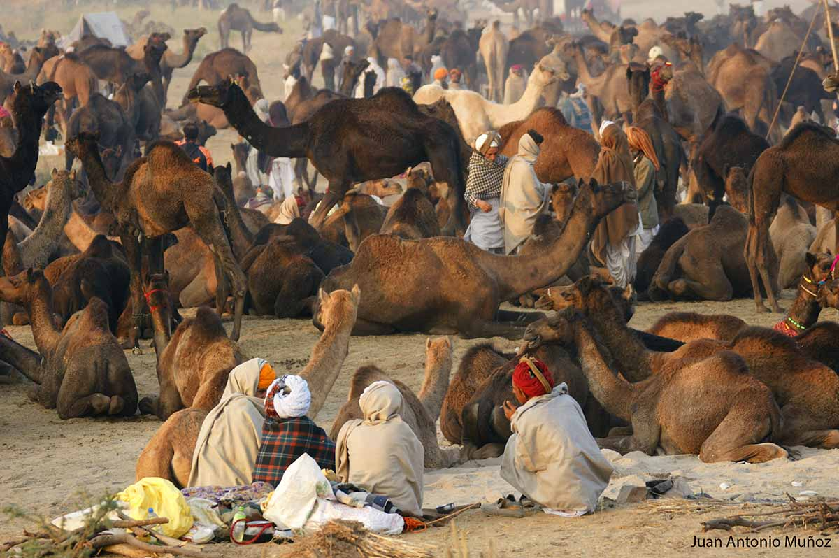Pushkar Camel Fair India