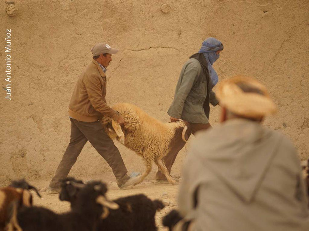 Comprando ovejas en Imilchil Marruecos