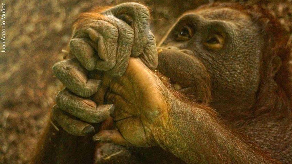 Orangután zoo Madrid