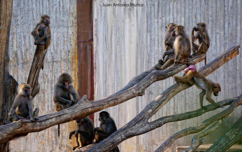 Monos en Zoo Madrid