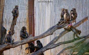 Monos en Zoo Madrid