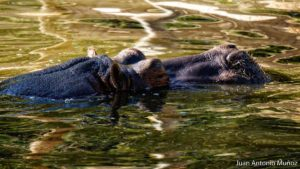Hipopotamo zoo Madrid