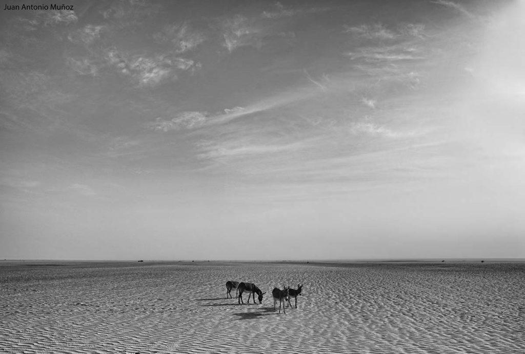 Burros del desierto. Mauritania