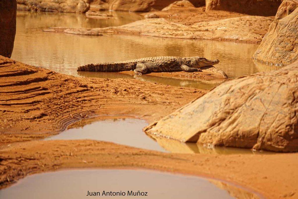 Cocodrilo en el desierto. Mauritania