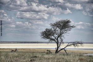 Gacela en Etosha. Namibia