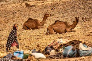 Bereber y los camellos. Marruecos