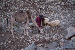 Alimentando al dromedario. Marruecos