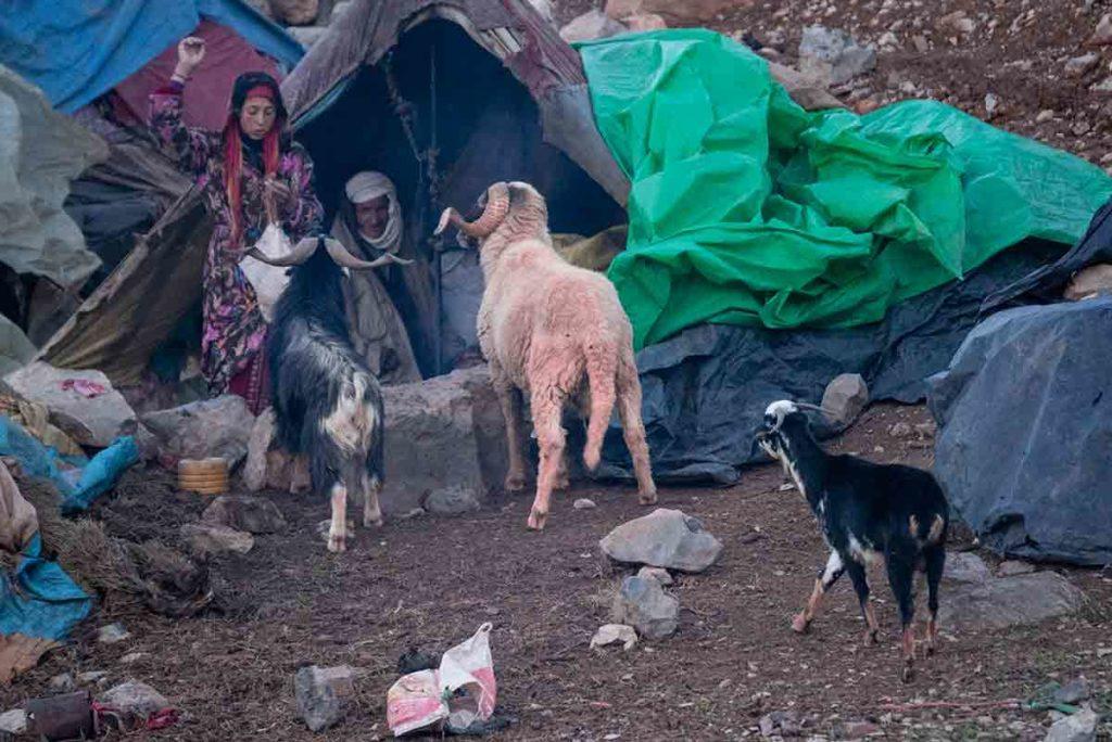 Carneros esperando la comida. Marruecos