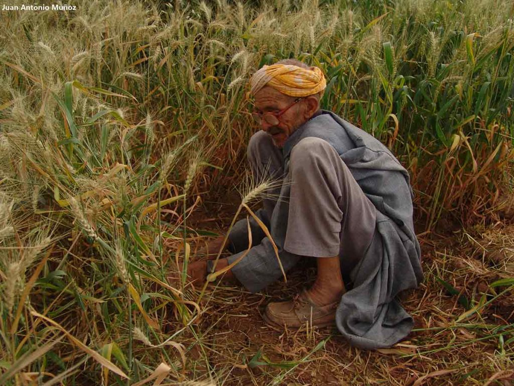 Señor trabajando campo. Marruecos