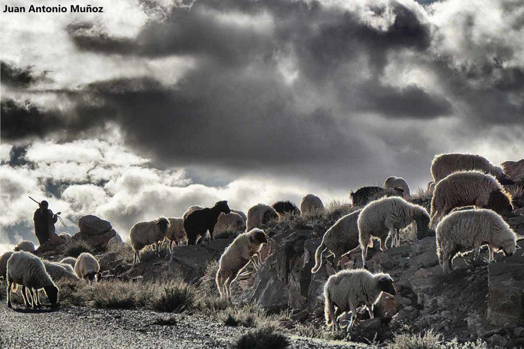 Rebaño ovejas. Marruecos