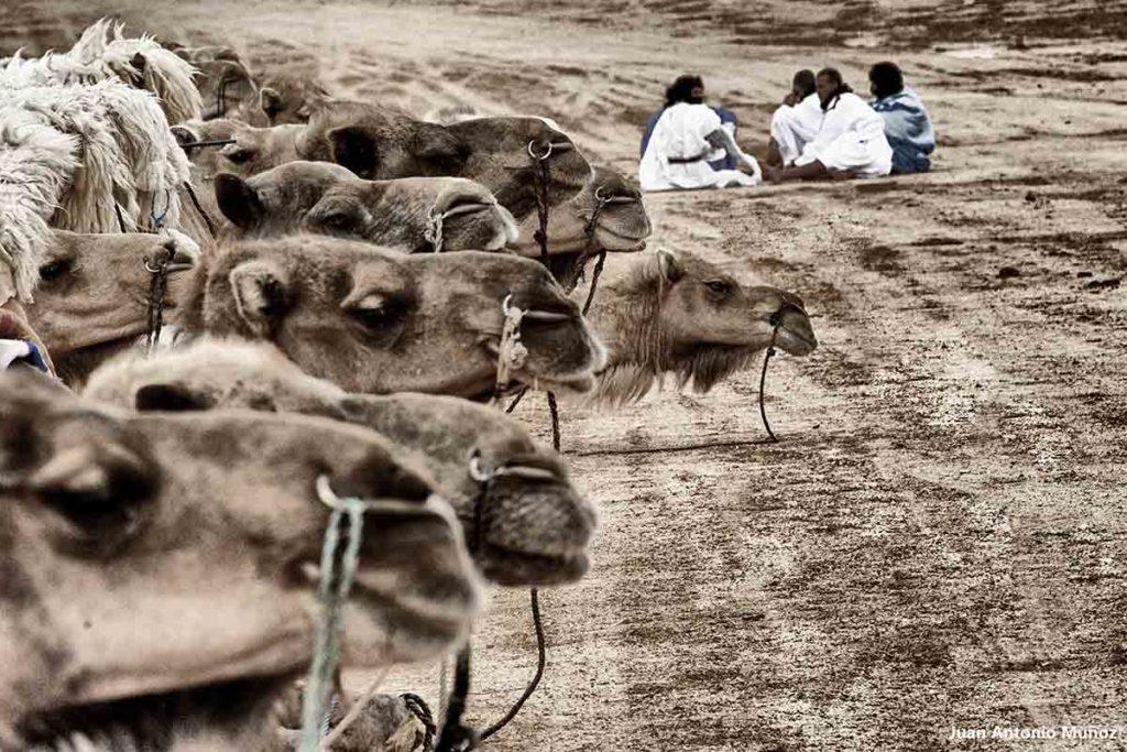 Sentados junto camellos. Marruecos