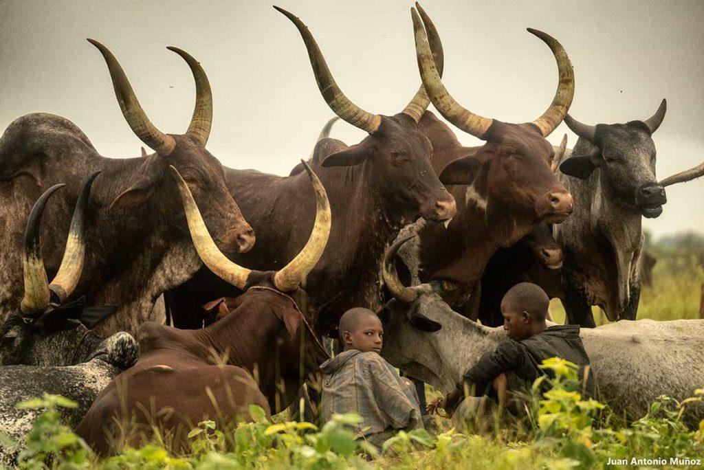 Niños con vacas cuernos. Chad