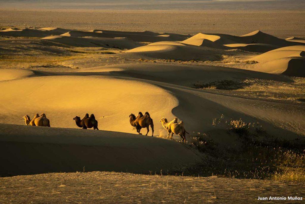 Camellos Gobi. Mongolia