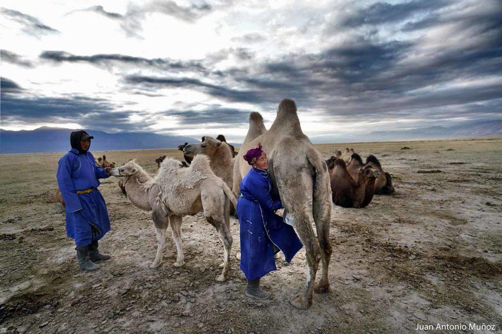 Ordeñando camellos. Mongolia