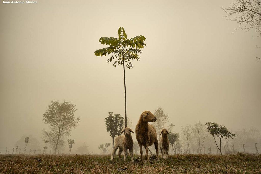 Ovejas en niebla. Nepal