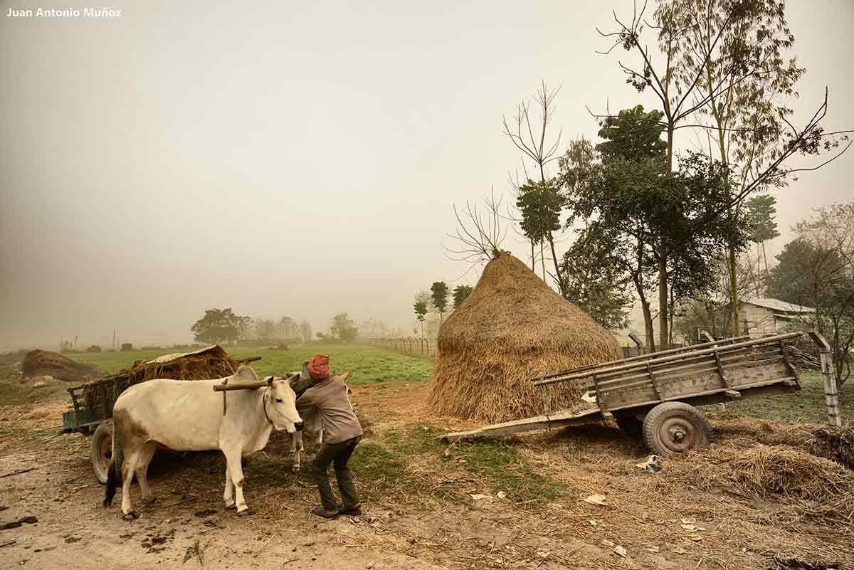 Bueyes en niebla. Nepal