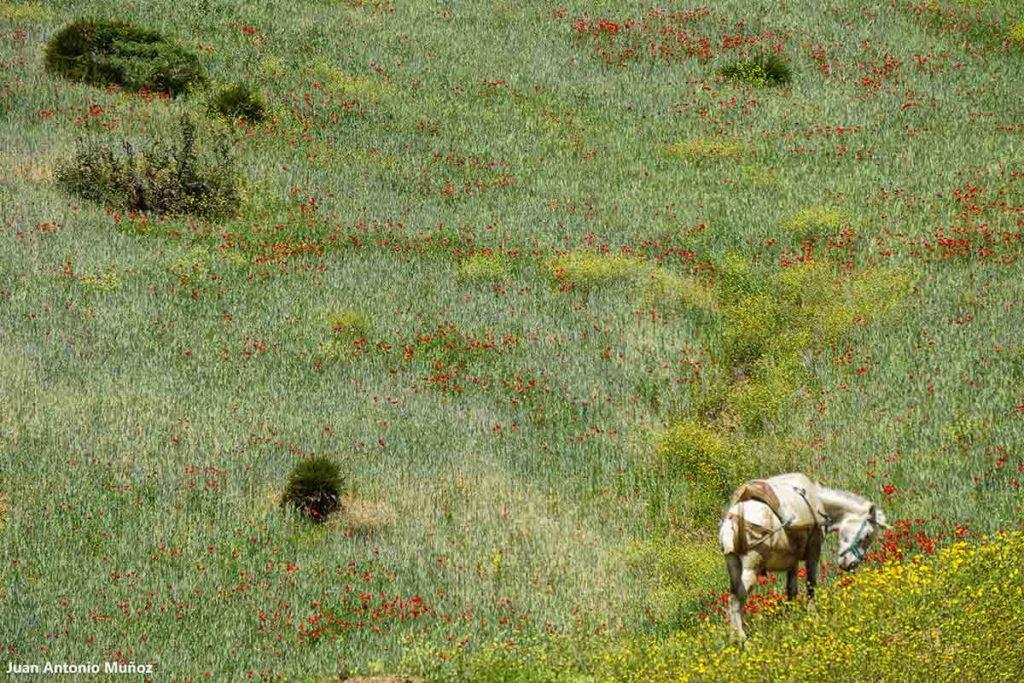 Caballo Rif. Marruecos
