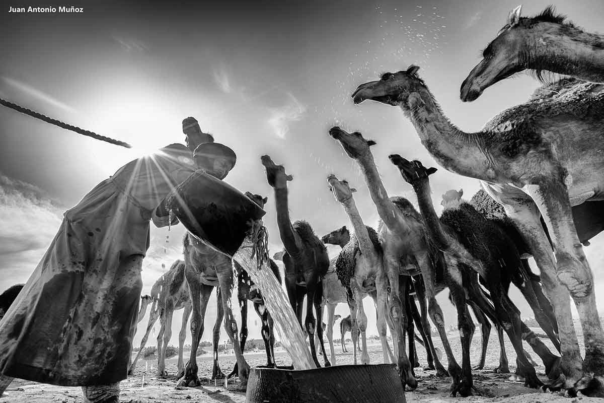 Camellos abrevando. Marruecos