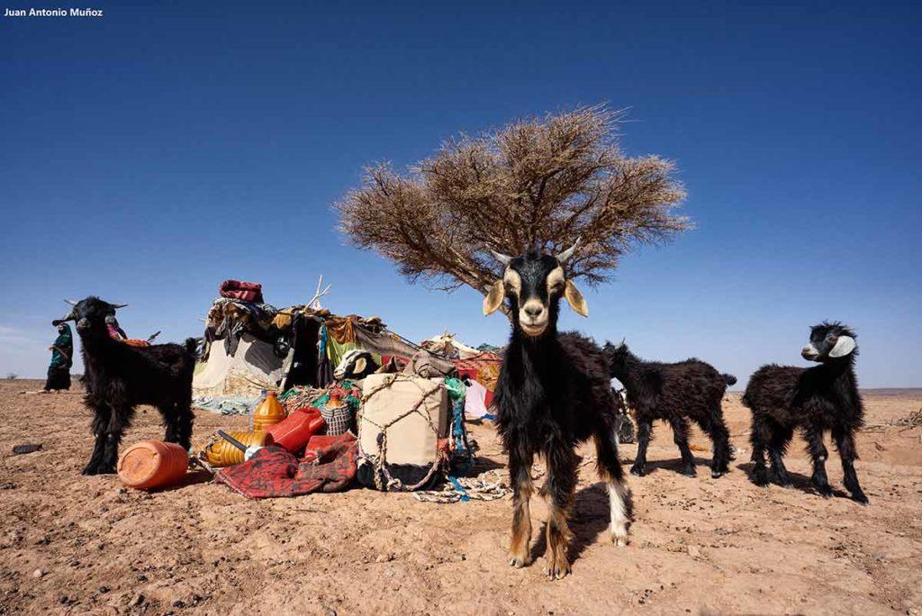 Cabra y nómadas. Marruecos