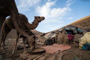 Camello en jaima. Atlas. Marruecos