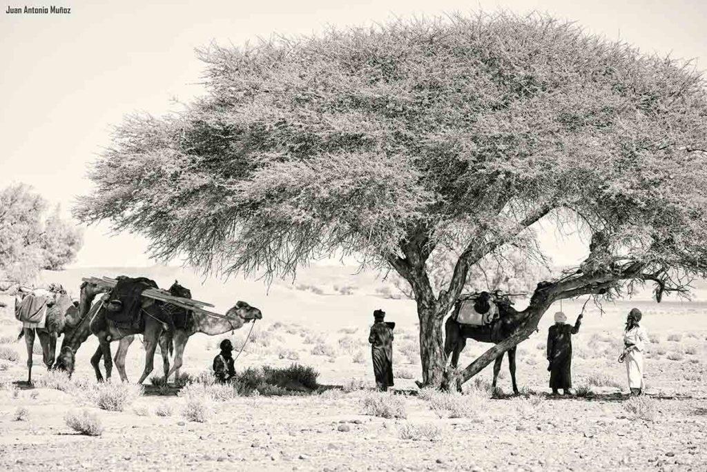 Caravana bajo la acacia. Marruecos